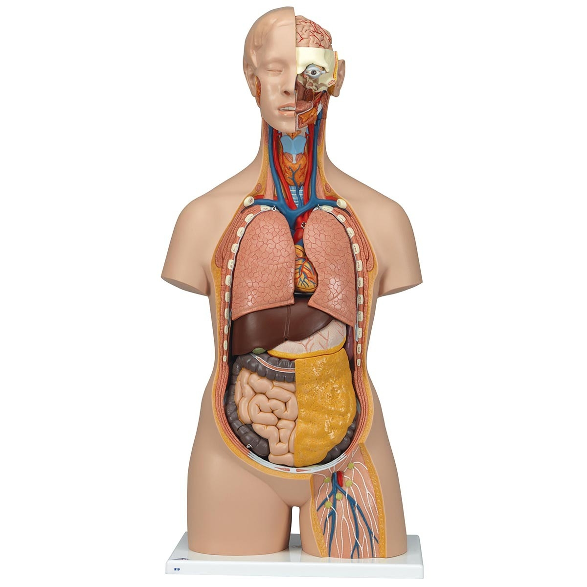 Classic Human Unisex Torso Anatomy Model (18 Parts) - A-100483 - Anatomical Models Torsos & Complete A-100483