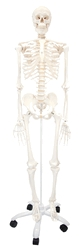 Classic Stan Human Skeleton Anatomy Model - A-100140 - Anatomical Models Human Skeleton Models A-100140