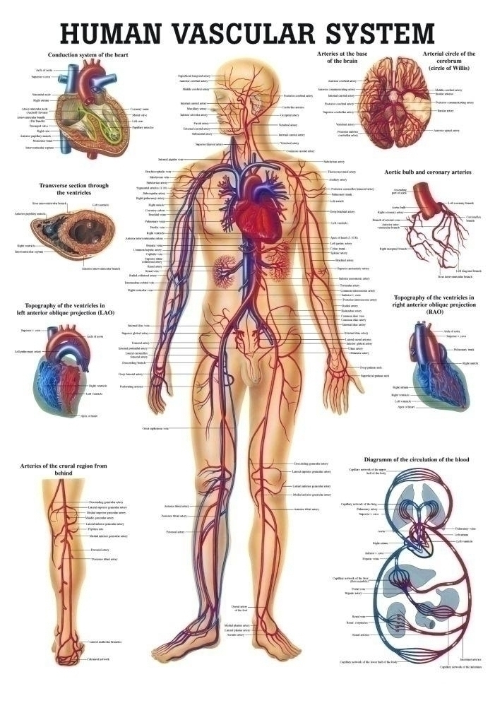 The Human Vascular System Laminated Anatomy Chart - A-104239 - Display Boards Poster Charts A-104239