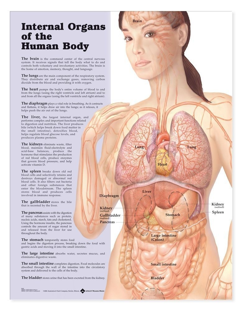 Display Boards Poster Anatomy Charts - A-102803 - Internal Organs Of The Human Body Anatomical Chart A-102803